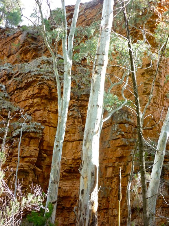Eucalyptus trees contrast with the quartzite rock wall in the background at Alligator Gorge, Mount Remarkable National Park, South Australia. (2010)