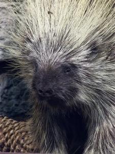 ©Mharrsch (http://commons.wikimedia.org/wiki/File:PorcupineCabelasSpringfield0511.jpg)